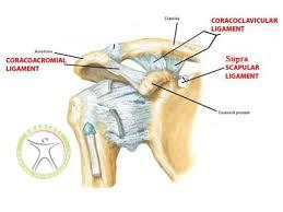 acromioclavicular joint anatomy shariati