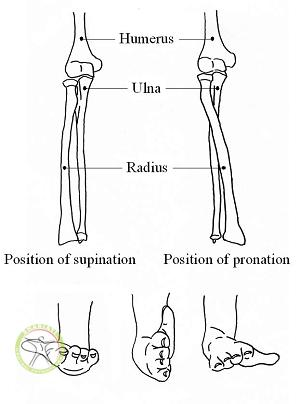 http://scpt.ir/uploads/elbow supination pronation.png