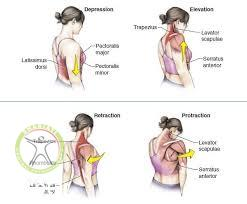 http://scpt.ir/uploads/temporomandibular dysfunction scapular protraction retraction.jpg
